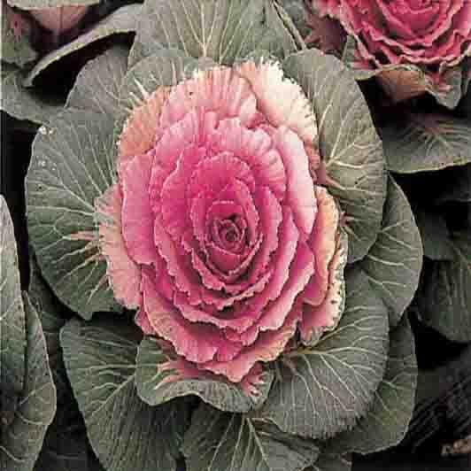 꽃양배추(적색)