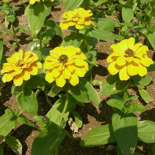 노랑계의 꽃