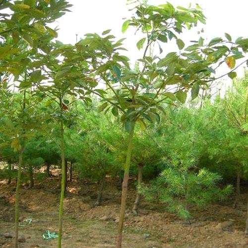 후박나무 키2.5m