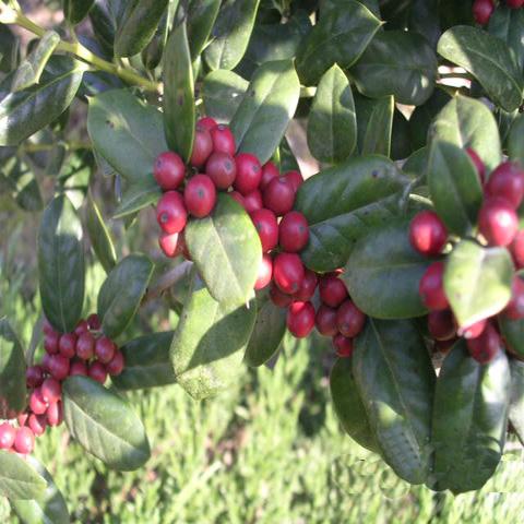 호랑가시 열매모습