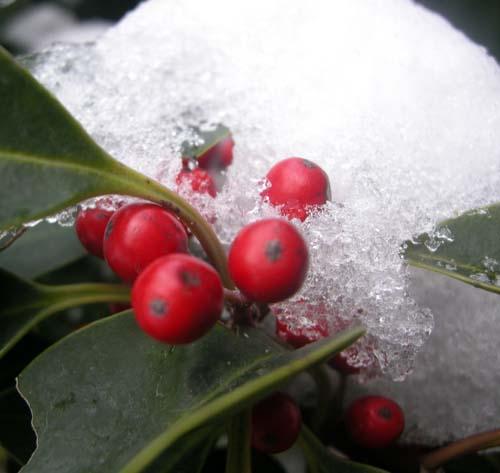 겨울 눈속에 열매 모습