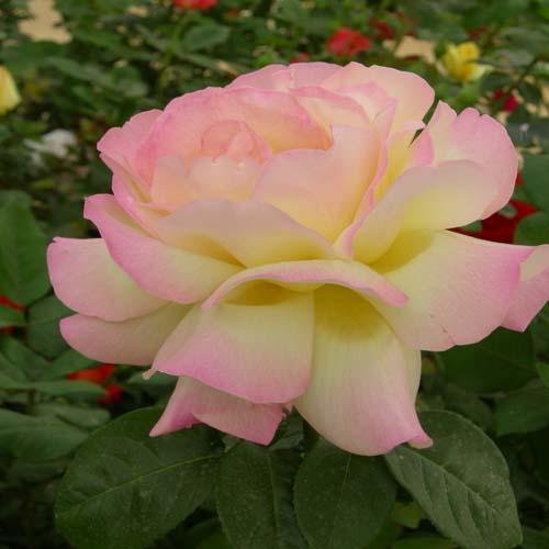 연분홍미색계