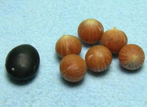 백량금 씨앗(콩과비교)