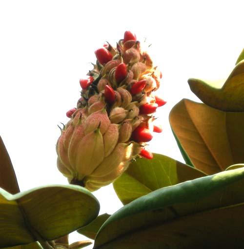 열매모습 R5cm