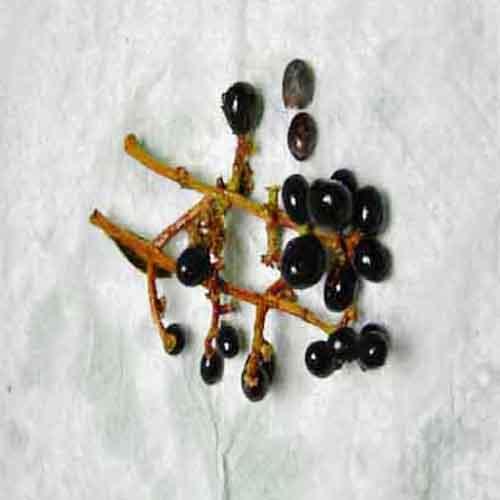광나무 씨앗