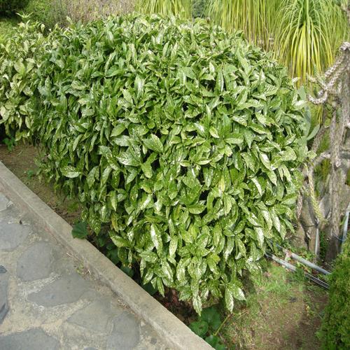 금식나무 모습