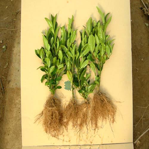 2년생 뿌리발육 모습