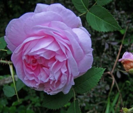 한불장미 분홍
