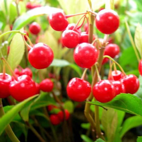 자금우 열매 모습