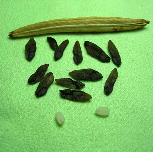 종자꼬투리.씨앗, 쌀모습