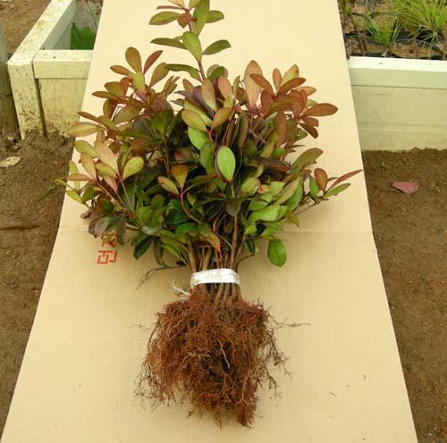 묘목 뿌리모습