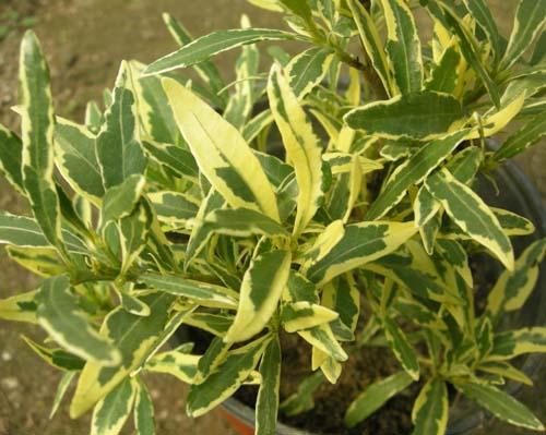 무늬치자 잎모습