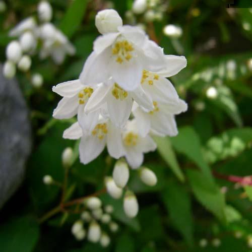 애기말발도리 꽃의 근접모습