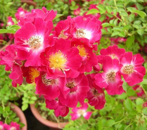 붉은꽃찔레 개화모습