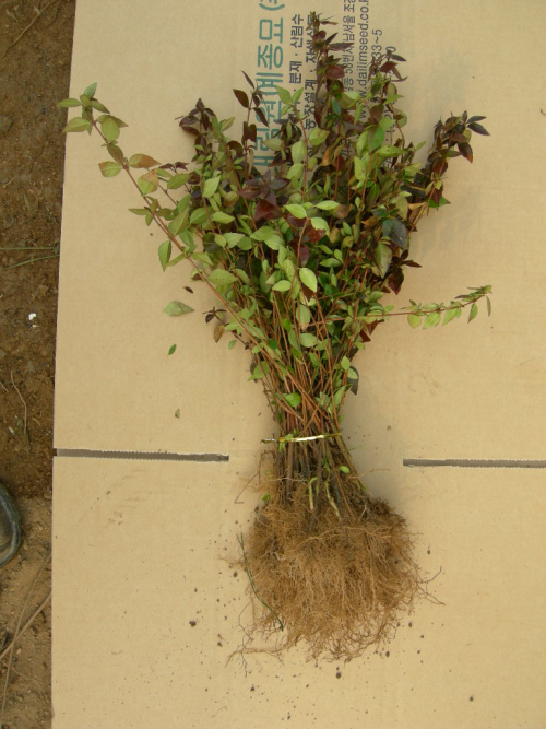 꽃댕강나무 묘목 뿌리 모습