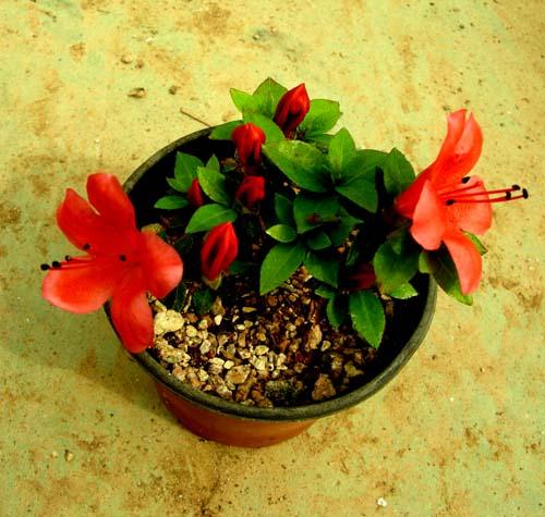 품종명_ 각엽진산꽃