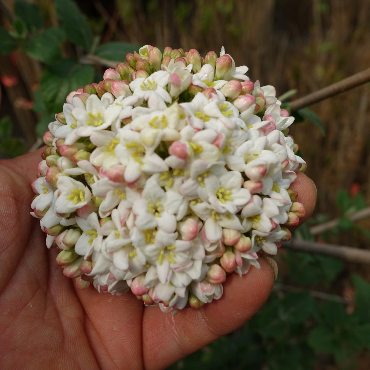 꽃봉우리모습