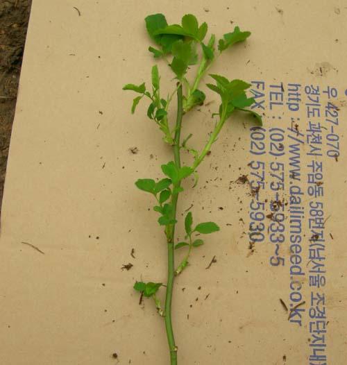 민찔레 잎과 줄기 모습