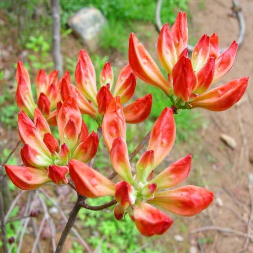 홍철쭉 꽃봉우리 모습
