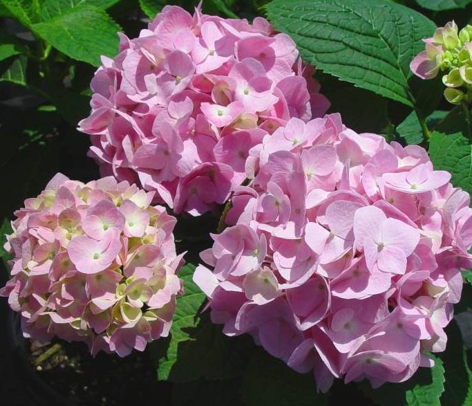 분홍 엔들레스썸머 오리지널