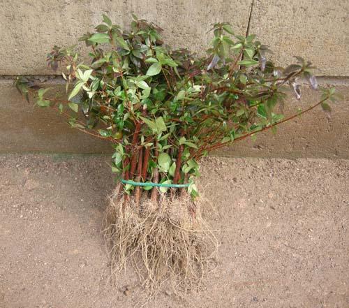 꽃댕강 2년 묘목 뿌리 모습