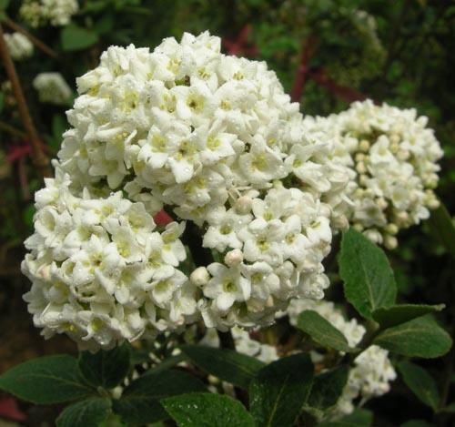 분꽃나무 꽃모습