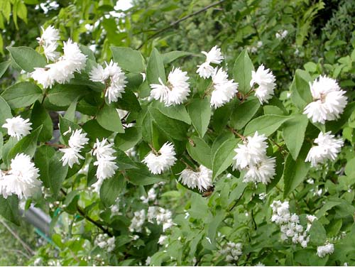 꽃말발도리 개화모습