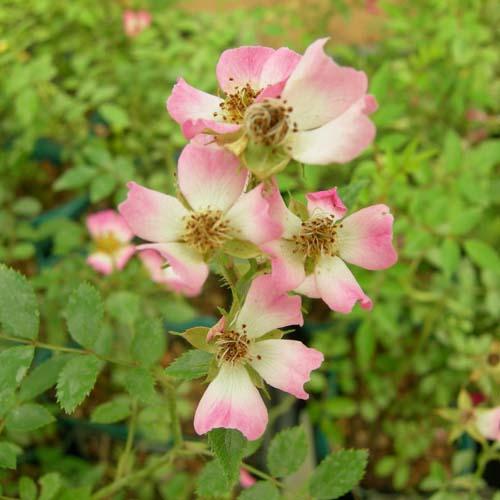분홍꽃찔레 개화모습