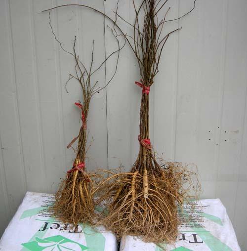 1년 2년생 묘목뿌리 모습