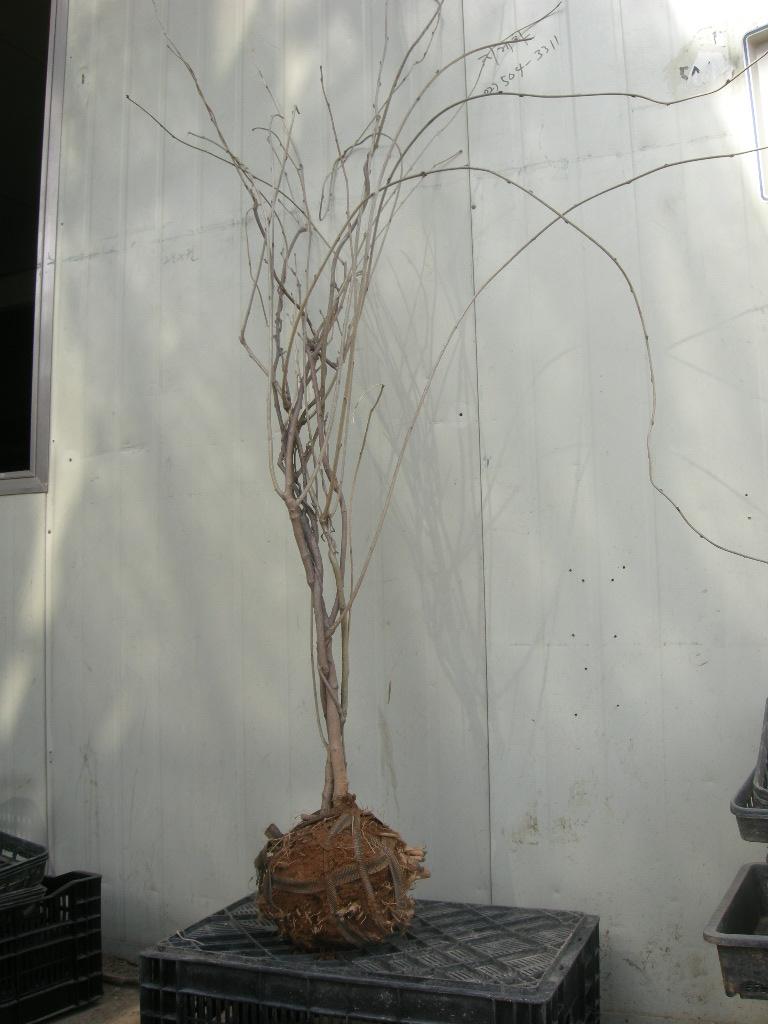 등나무 분모습