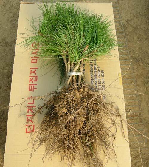 1년생 뿌리발육모습