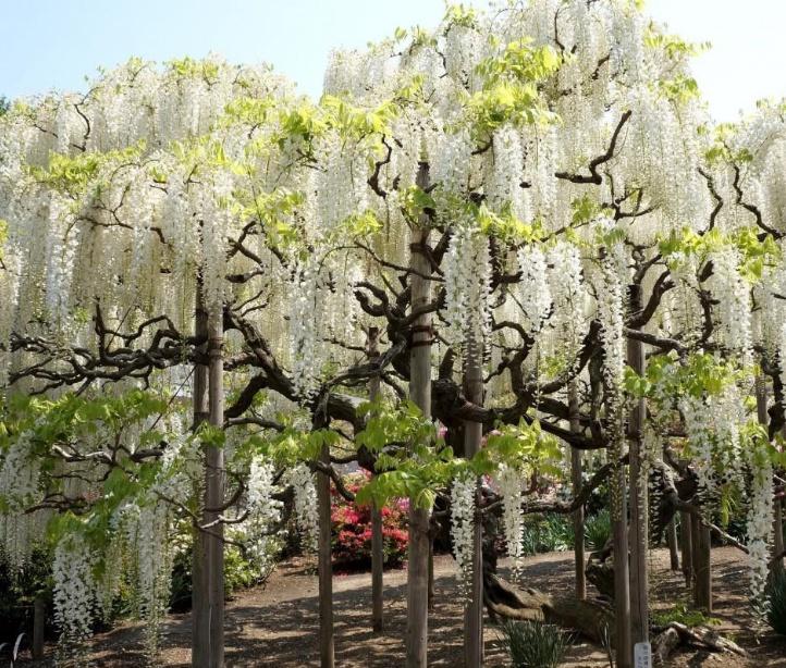 백등나무 모습