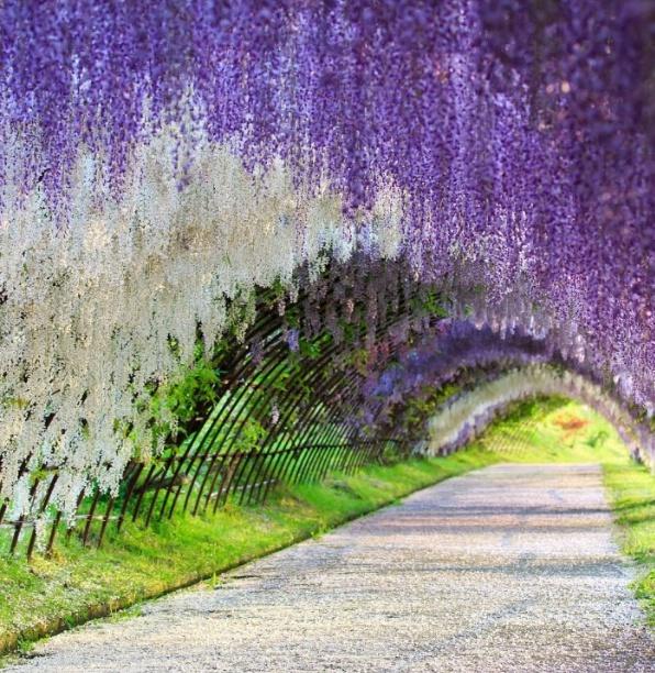 등나무 터널모습