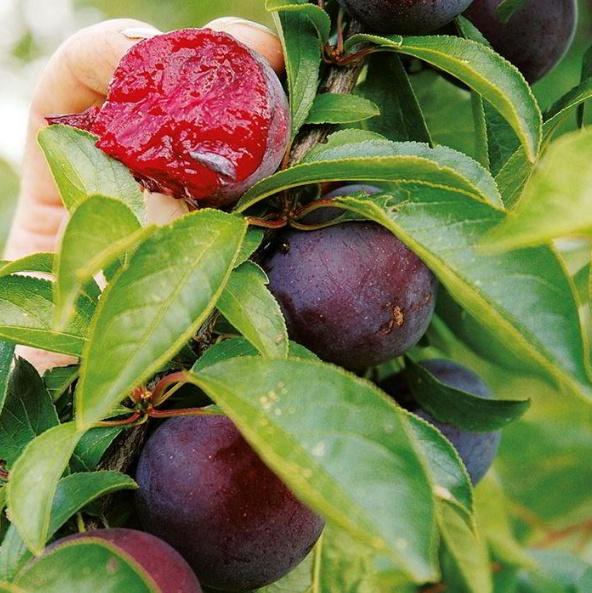 플럼코트(티파니)열매