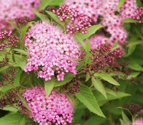 겐페이 꽃 근접모습