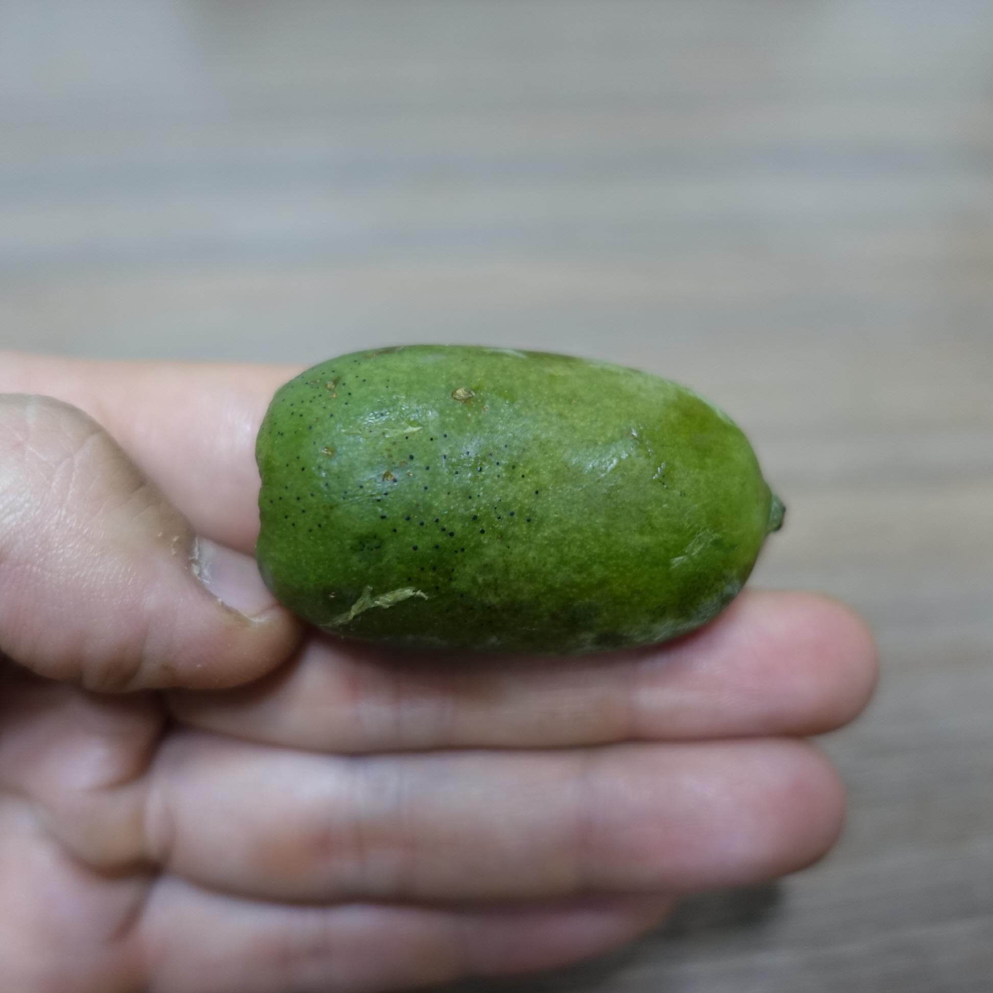 용성2호 열매모습