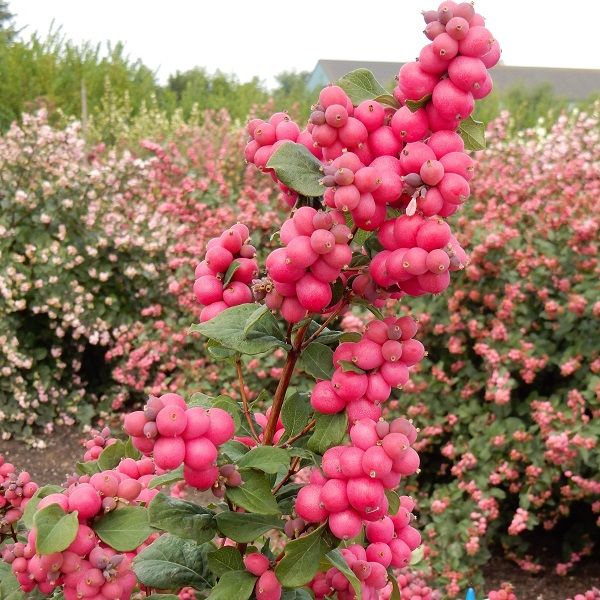 매직컬루비자이언트 열매