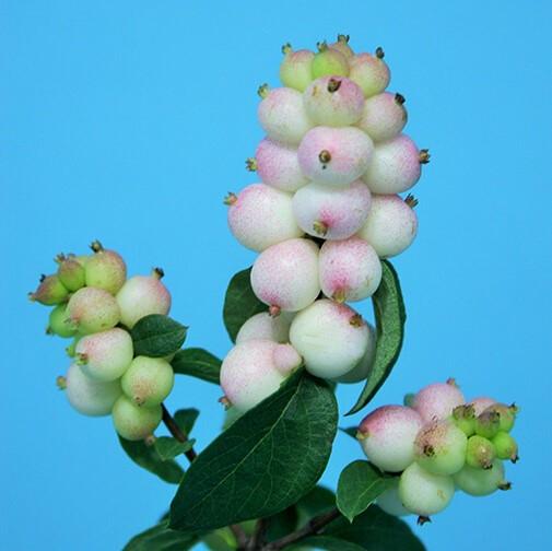 매직컬오텀블러쉬 열매