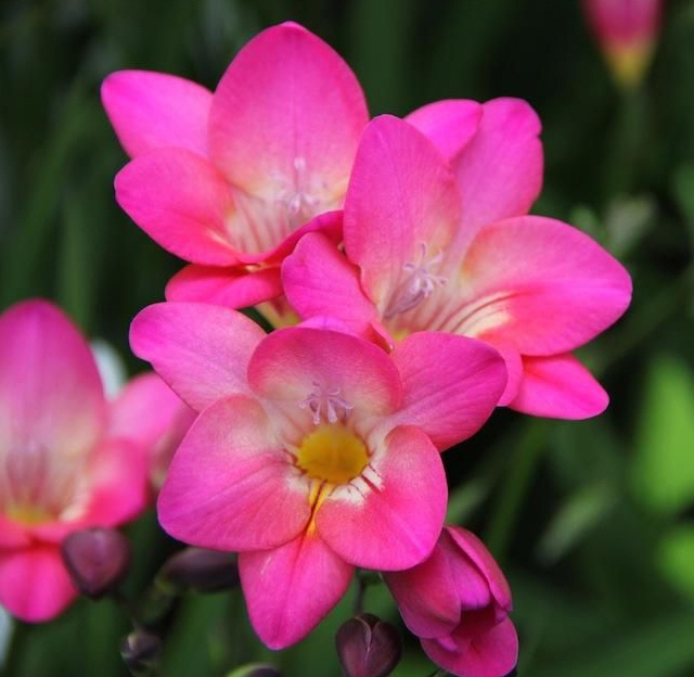 프리지어 분홍(홑꽃)