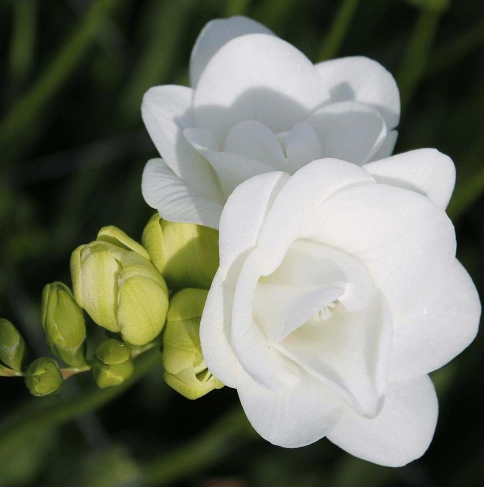 프리지어 백색